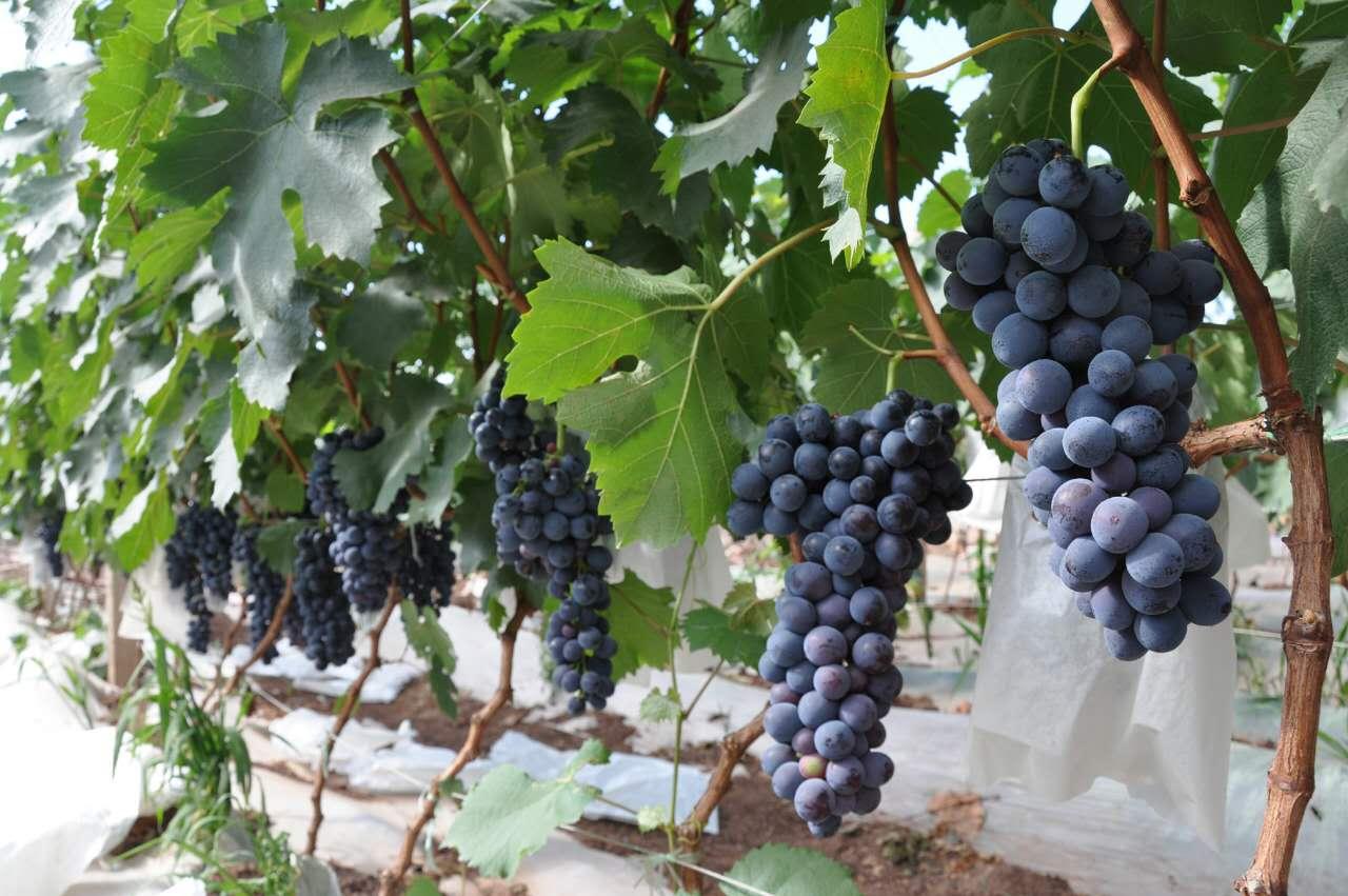 2016年郑州葡萄采摘到哪里 郑州国盛农业
